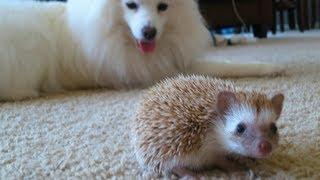 Download Dog meets Hedgehog Video