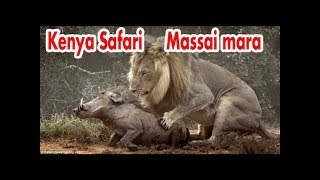 Download Travel Safari KENYA Maasai Mara lion - day 1 Video