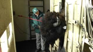 Download Tagging Wood Bison Video
