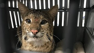 Download Our New Rehab Bobcat Saved By A Farmer Video