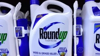 Download New court papers charge Monsanto manipulated data about safety of Roundup weed killer Video