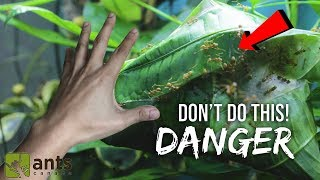 Download Why I Stuck My Hand Into a Terrarium with Thousands of Weaver Ants Video