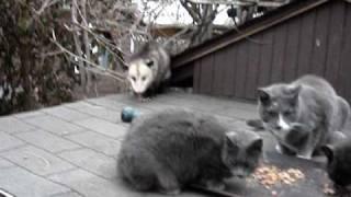Download Possum Opossum Cat Video