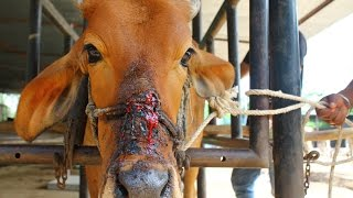 Download Cow injured from halter cutting into face rescued Video