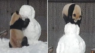 Download Face-Planting Panda Won't Give Up In Battle Against Snowman Video