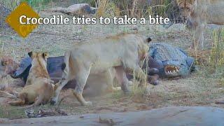Download Fierce Kruger Park Wildlife Battle! 10 Lions, 1 Cape Buffalo, 1 Nile Crocodile & Herds of Elephants. Video