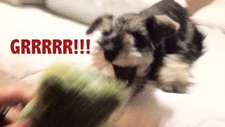 Download Mini Schnauzer Trying To Act Tough Video