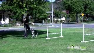 Download Dog Agility - Training your Dog Basic Jumping Skills Video