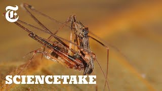 Download Pelican Spiders, Ancient Assassins That Eat Their Own Kind | ScienceTake Video