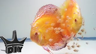 Download HOW TO: Breed Discus fish Video