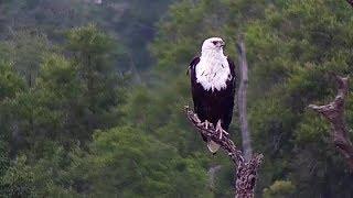 Download Djuma: African Fish Eagle - 16:50 - 01/23/2020 Video