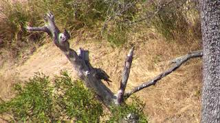 Download Djuma:Impalas alarming - 13:55 - 07/20/18 Video