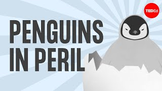 Download The popularity, plight and poop of penguins - Dyan deNapoli Video