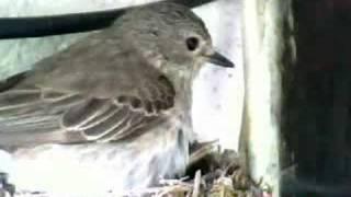 Download Spodnja Idrija - Sivi muhar - Muscicapa striata Video