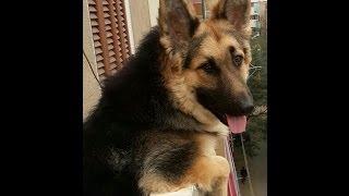 Download تربية الكلاب حلال ام حرام للدكتور سعد الدين هلالى Video
