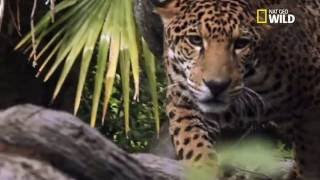 Download L'incroyable chasse du jaguar Video