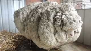 Download Overgrown sheep's life is saved after 40kg of wool is removed Video
