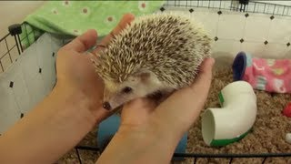 Download Cleaning the Hedgehog's C&C Cage Video