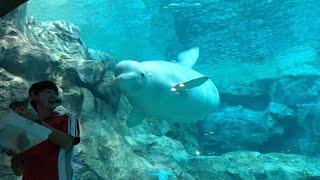 Download 2019/09/14 ベルーガの不思議な魚の食べ方 @名古屋港水族館 Video