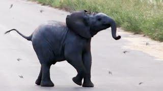 Download Baby Elephant Calf vs Birds - Latest Wildlife Sightings Video