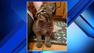 Download Family's new kitten turns out to be a bobcat Video
