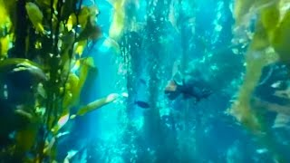 Download 360° Diving Exploration of Kelp Forest Aquarium | Big Blue Live | BBC Earth Unplugged Video