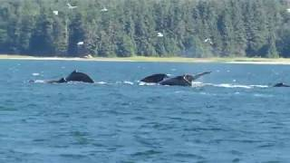 Download Humpback whales, bubble net feeding group Video