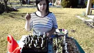 Download Pikowanie pomidorów, uprawa | Kasia.in Video