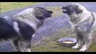 Download food aggression Illyrian Shepherd (rank fight ) Video