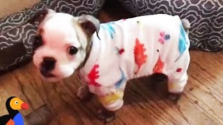 Download Tiny Bulldog Was So Little She Almost Didn't Survive | The Dodo Video