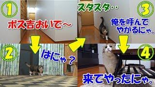 Download 名前を呼ばれると部屋まで歩いて来るボス猫 Video