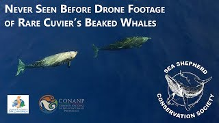 Download Never before seen drone footage of Cuvier's Beaked Whales Video