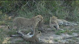 Download SafariLive Dec 22 - Three Leopards! Tingana, Shadow and cub! Video