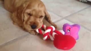 Download 9 week old English cocker spaniel puppy Video
