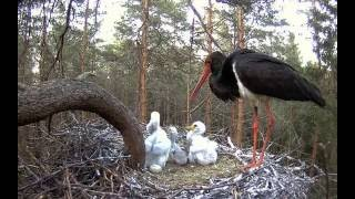 Download Estonian Black Storks ~ Tiny storklet does not give up in its fight for survival, 2016-06-01 21:34 Video