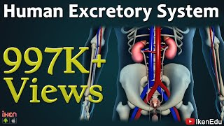 Download Learn Biology: Human Excretory System Video