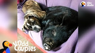 Download Dog Becomes Mom To Rescue Piglet | The Dodo Odd Couples Video