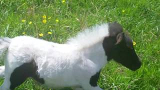 Download Miniature horses and foal enjoying a sunny day Video