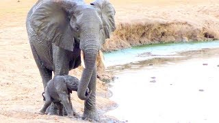 Download Watch what happens when this newborn elephant calf falls into the waterhole Video