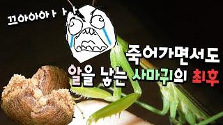 Download 여기에 사마귀알이 천개가까이?! 죽어가면서도 알을낳는 어미사마귀를 받았습니다 Video