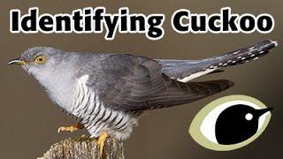 Download BTO Bird ID - Cuckoo Video