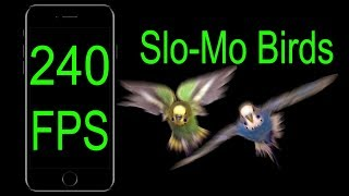 Download Parakeets Flying in Slow Motion [240 FPS] Video