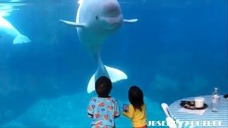 Download 아이들과 장난치는 벨루가 ㅎ (흰고래) Video