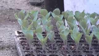 Download 一人で農業をしてみた 冬野菜の栽培 キャベツ 白菜 ブロッコリー レタス Video