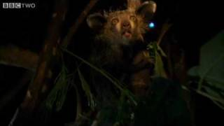 Download Last Chance to See - Cute Or Ugly Aye-Aye? - BBC Two Video