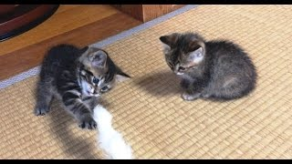 Download 子猫2匹が遊びに来た【かわいい子猫】Two animals kitten came to play Video