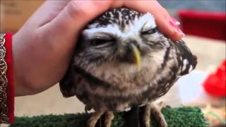 Download Cutest owl ever: northern saw whet owl Video