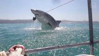 Download A Great White Shark Breached & Just Missed Us! Video