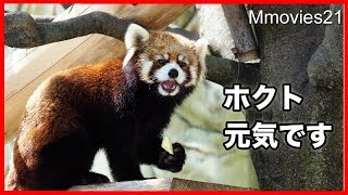 Download 元気ですレッサーパンダ ホクト 甲府で公開始まる Red Panda ″Hokuto″ Video