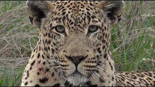 Download SafariLive Dec 31 - Yeah!! Leopard Tingana is back! Video